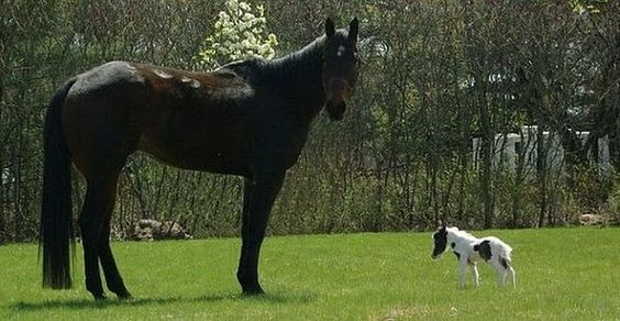 World's smallest Paint pony and horse