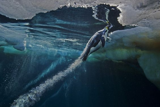 Nature, 1st prize stories, Paul Nicklen #animals #penguin #photography