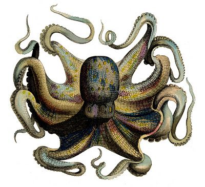 Octopus from an 1835 antique natural history print