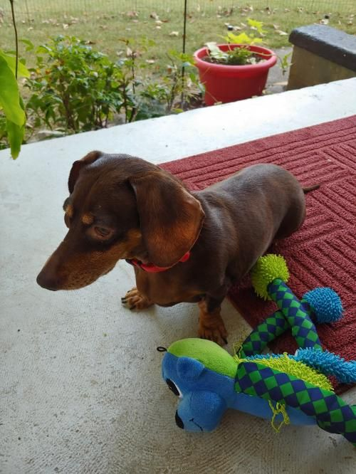 Dora In Tn S Web Page Pet Dogs Dachshund Rescue Dogs