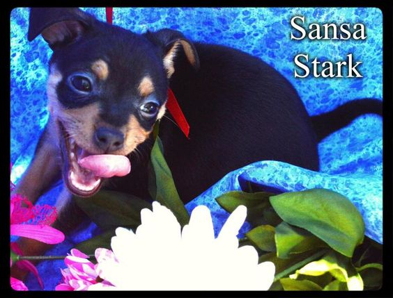 SANSASTARK ~~~ Weight: About 2 pounds ~~~ Approximate Birth date: 4/18/14 True Age in human years: http://tinylovingcanines.blogspot.com/2013/08/aging-chihuahua.html ~~~ Energy level: Puppy   ALWAYS check our WEBSITE DIRECTLY to see if this dog or puppy is still available.