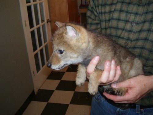 Canada Goose down replica fake - Canada Goose Believe it or not, this is a baby coyote, it will ...