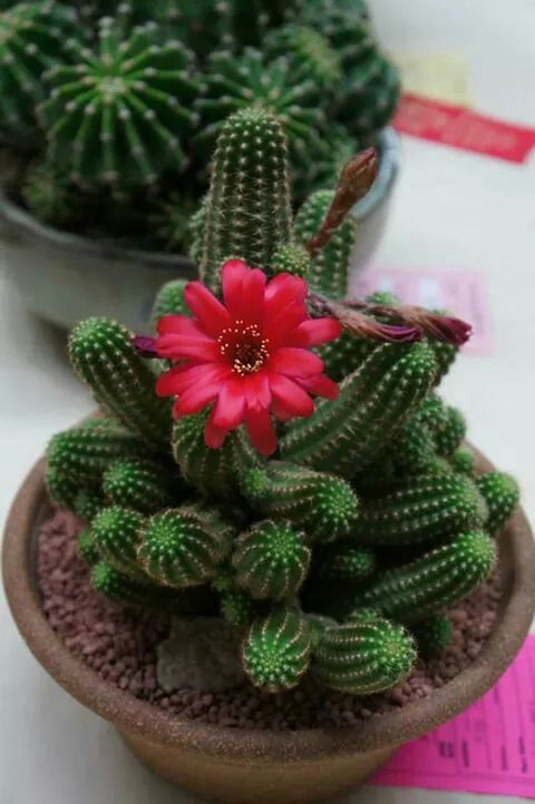 mini jardim de cactus : mini jardim de cactus:Cactus and Ps on Pinterest