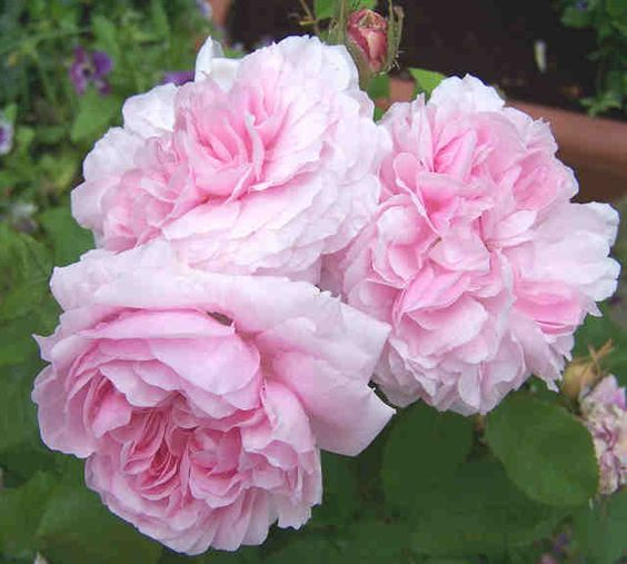 Pink cabbage roses instead of peonies..  Available year round and less expensive!