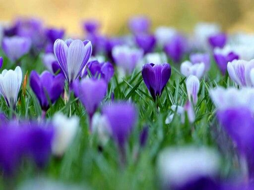 .The sign of spring - the gorgeous Crocus