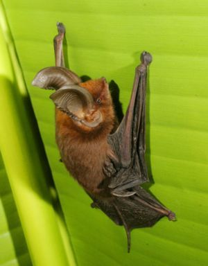 The Madagascar Sucker-footed Bat
