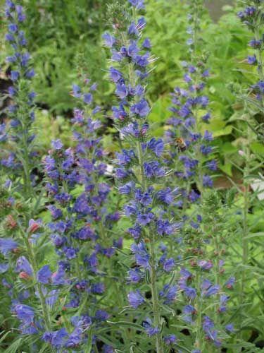 Gärtnerei Naturwuchs -- E - F -- Echium vulgare -- Natternkopf