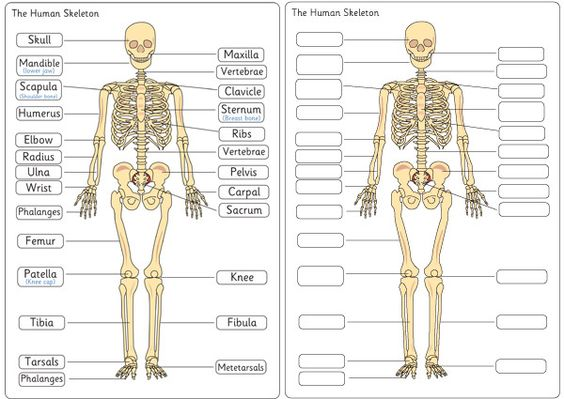 Human Skeleton Diagram Labelling Sheets | Free EYFS / KS1 Resources for Teachers