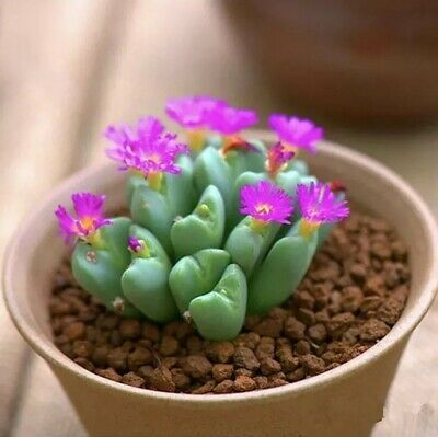 Cactus mixed seeds different shapes heights and colours 60 seeds