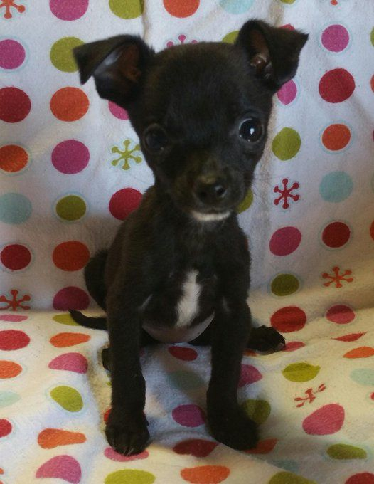 Pin By Mikki Talmadge Jaeger On Chihuahua Dogs Baby Chihuahua Cute Animals Dogs