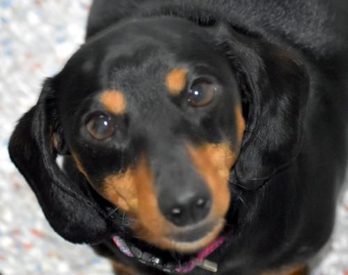 I M Millie I M The Sweet Loving Playful Young Fursister You Ve Been Looking For To Be Your Furbabies Best Frie In 2020 Dachshund Adoption Pet Adoption Dachshund