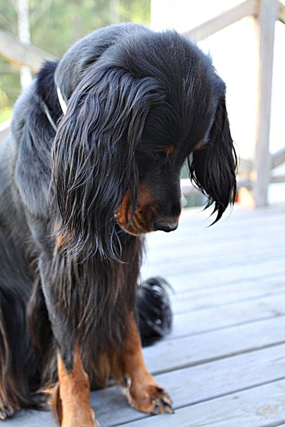 Best dogs, Gordon setter and Dogs on Pinterest
