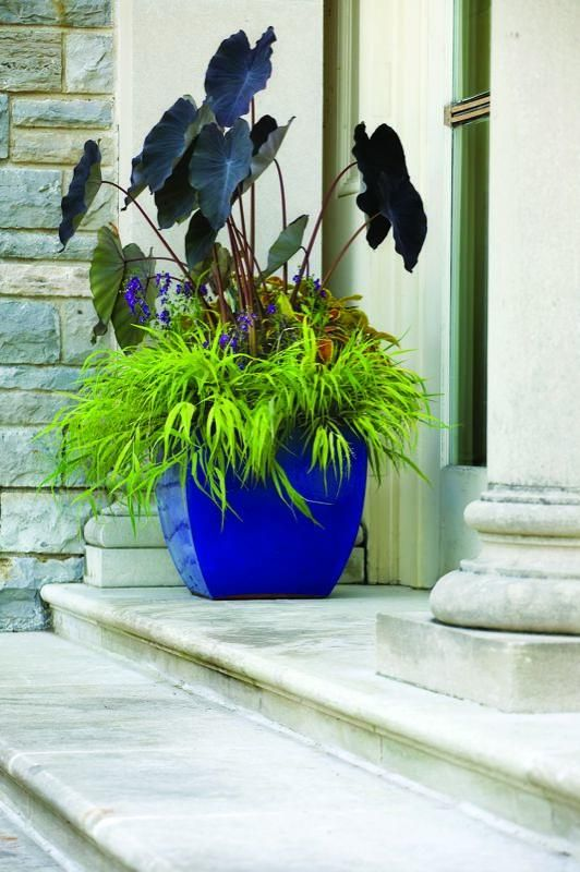 Hakonechloa macra 'All Gold', Rustic Orange™ coleus, Arcelia 'Purple' angelonia and Colocasia 'Black Magic'.: Garden Container, Container Gardens, Blue Pot, Blue Container, Container Ideas, Container Gardening
