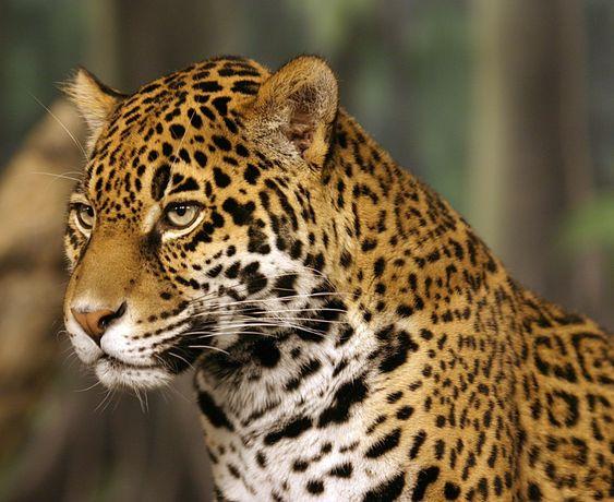 Beautiful head photo of a Jaguar at the Milwaukee County Zoo.