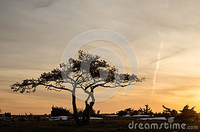 Download Pine Tree At Dusk Royalty Free Stock Photos for free or as low as 0.15 €. New users enjoy 60% OFF. 23,337,747 high-resolution stock photos and vector illustrations. Image: 29800678