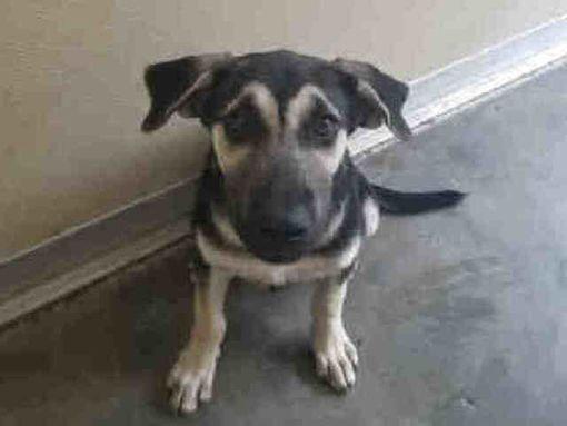 Texas City Tx German Shepherd Dog Meet Rey A Dog For Adoption