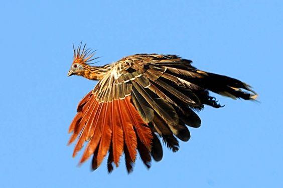 cigana (Opisthocomus hoazin) por Amaro Alves | Wiki Aves - A Enciclopédia das Aves do Brasil