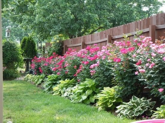 Knockout roses and hostas planted along fence. Low maintenance and beautiful!: