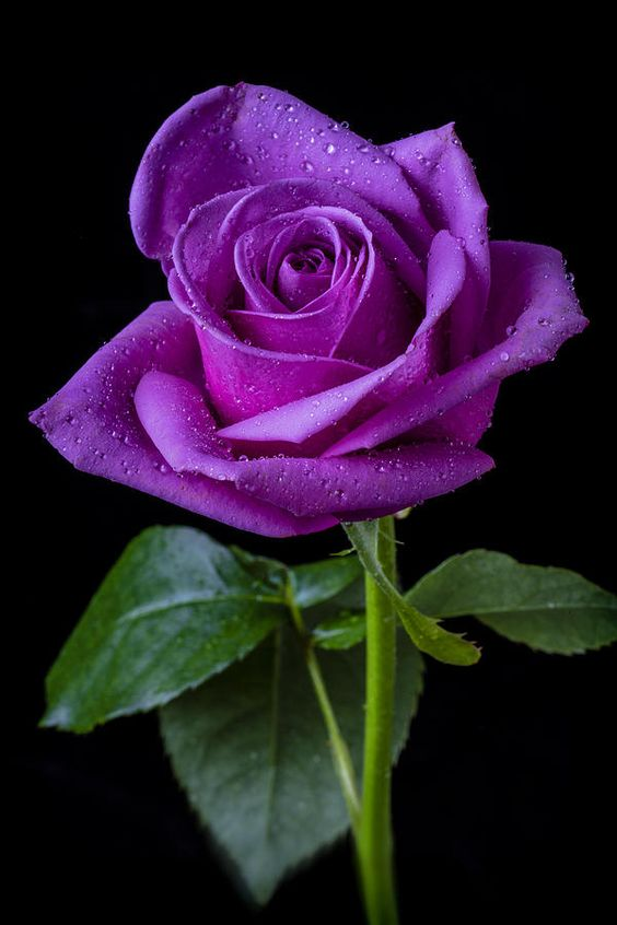 I've never found a rose in our area that is this deep a purple. I'd love to have it in the garden.
