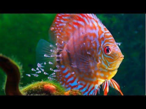 How To Raise And Feed Baby Fish Live Stream Https Youtu Be 4dhbk94n6jq Fish Breeding Fish Live Fish