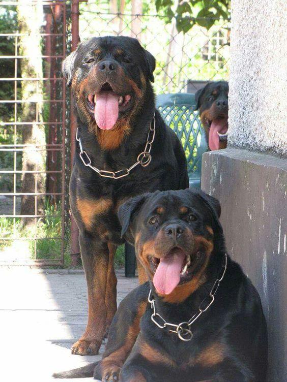 Rottweiler Dogs Rottweiler Dog Breeds
