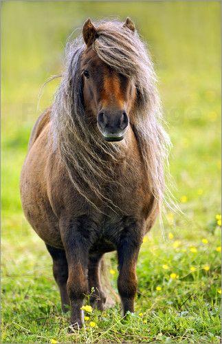 Olaf Protze - Shetland Pony |