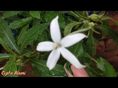 Inilah Rahasia Cara Menanam Bunga Kitolod Tanaman Obat Mata Di Rumah Dengan Benar Bagi Pemula Youtube Di 2020 Menanam Bunga Tanaman Obat Bunga