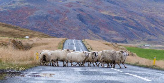 One sheep two sheep three sheep. by Claude-Bernard via http://ift.tt/2fenG0S