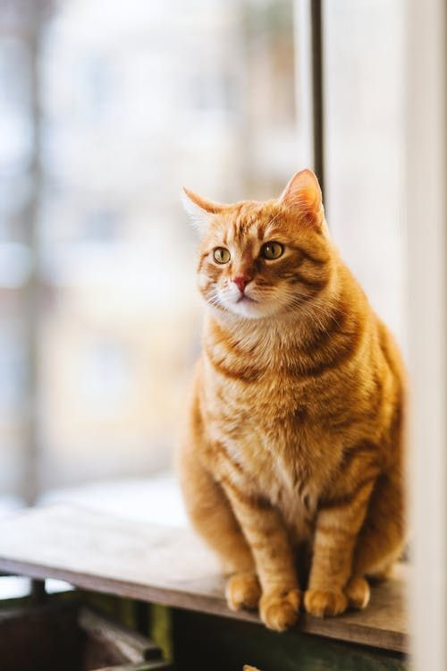 Beautiful Cats Breeds That You Have Never Seen Her In 2020 Orange Tabby Cats Cute Cats Photos Tabby Cat