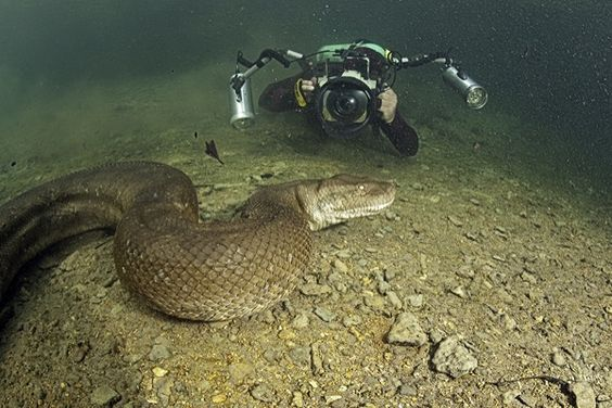 amazon river anaconda underwater. giant anaconda in the amazon river this guy must have a death wish snake pinterest and underwater