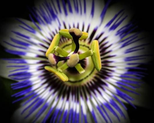 Passiflora Caerulea Click To Find Out More About It And How To Care For It Passionflower Blue Passion Flower Passion Flower Passiflora