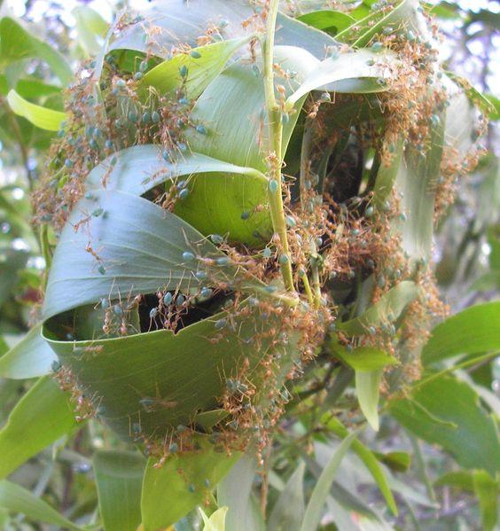 oecophylla - Pesquisa Google