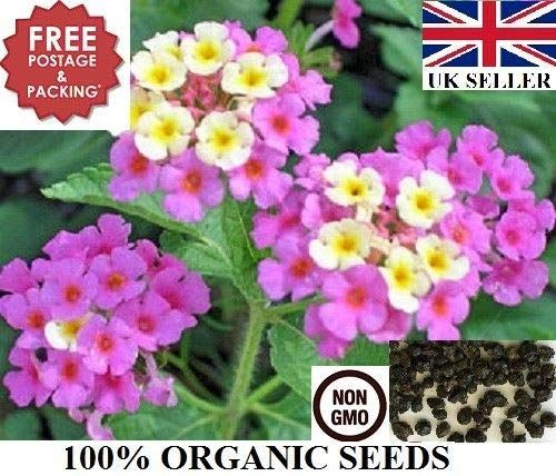 Amazon Com 100 Dry Seeds Of Lantana Camara Wild Sage Herb 100 Organic Non Gmo Uk Seller Garden Outdoor Lantana Plant Organic Seeds Sage Herb