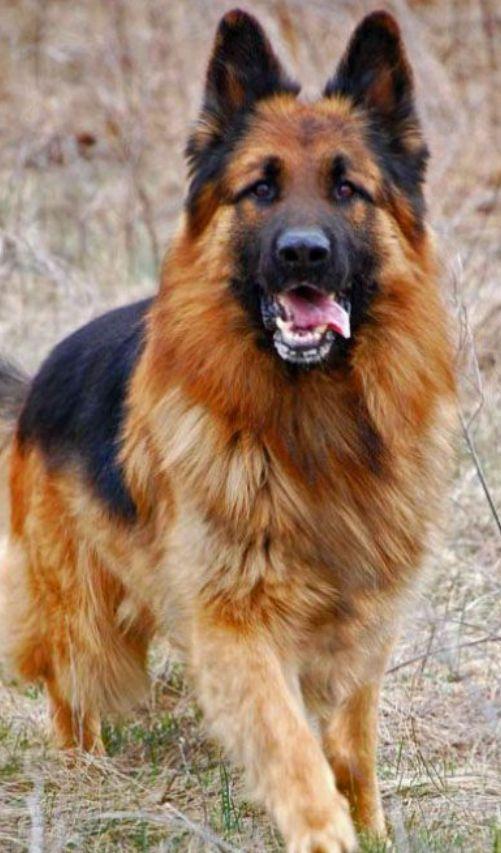 44 German Shepherd Mix Breed Reviews Reviewed By Veterinarians In 2020 German Shepherd Dogs Shepherd Dog Long Haired German Shepherd
