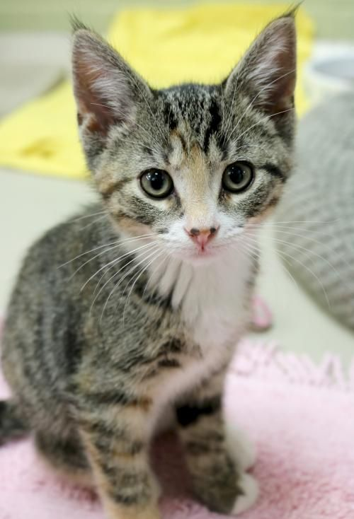 Hi I M Leigh I M A 2 Month Old Spayed Female Brown Tabby With White Domestic Short Hair Tabby Cat Puppies And Kitties Tabby