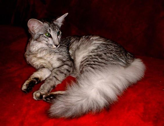 rare cats oriental and cats on pinterest