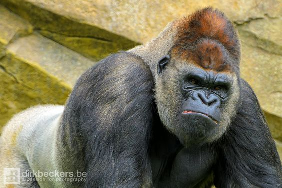 Angry Animals Google Search: Animals For > Angry Silverback Gorillas Fighting