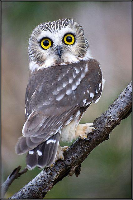 ..Owl (Saw-whet) - 0012 by Earl Reinink, via Flickr..