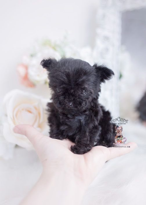 Micro Teacup Poodle Puppies Florida In 2020 Toy Poodle Puppies