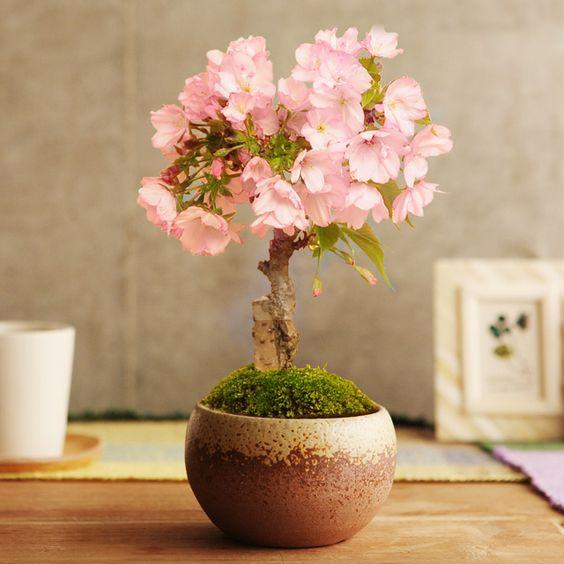 【楽天市場】旭山桜の盆栽【送料無料】:アンジェ(インテリア雑貨)