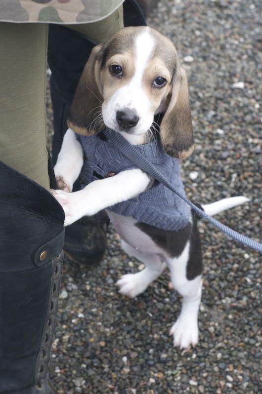 Beagle Puppy For Sale Sacramento   Beagle Puppy