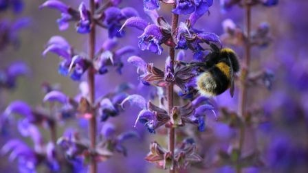 Bumble Bee Insect Purple Flowers