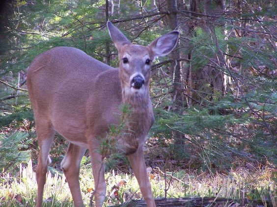 Deer Hunting 2011 Cool Deer Shots Deer Deer Hungint