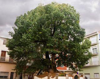 Olmo de Navajas plantado en 1636 por Roque Pastor.