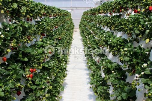 Stock Photo : Strawberry plants filled with ripening fruit at farm