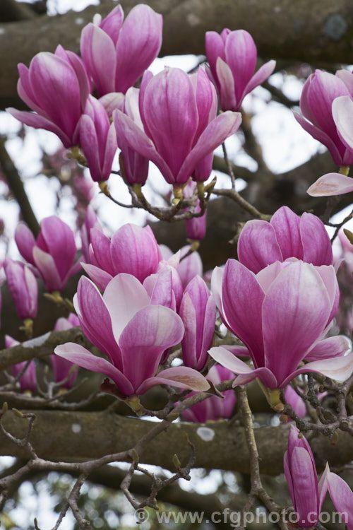 Magnolia Soulangiana Alexandrina Magnolia Denudata Magnolia Liliiflora A Large Growing Early Flowering Cultivar Intr Magnolia Magnolia Denudata Photo