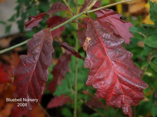 Quercus Michauxii Plant Leaves Autumn Trees Green Leaves