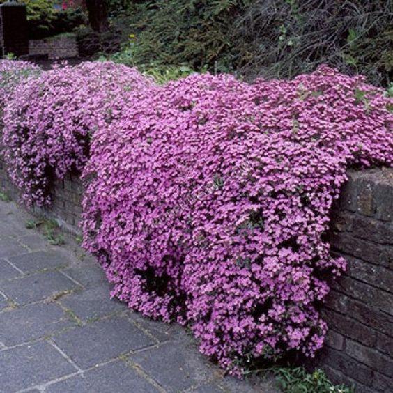 Saponaria Ocymoidea Pink Perennial 500 Seeds Etsy Bodendecker Mehrjahrige Pflanzen Pflanzen