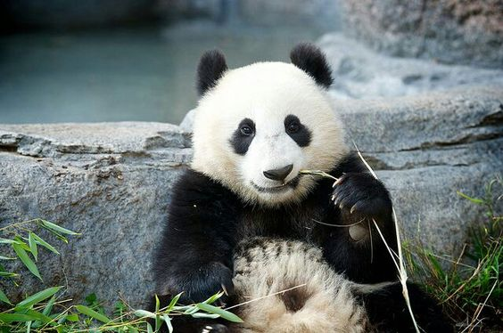 Awesome panda