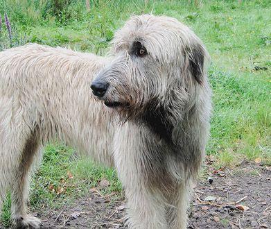 Irish Wolfhound photo | Irish Wolfhound - ein sanfter Riese - Wesen, Geschichte & Vermittlung ...